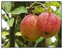 Gartenäpfel  lecker und saftig