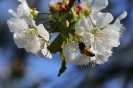 Der Kirschbaum hinterm Haus blüht auch dieses Jahr in voller Pracht