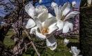Die Magnolienblüte ist in vollem Gange