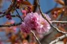Die Mandelblüten fallen gerade ab, da erblüht direkt nebenan die japanische Zierkirsche.