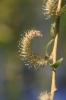 Die Trauerweide blüht auch und die Blätter sind gleichzeitig auch schon zu sehen