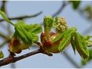 Kastanien - Blüte