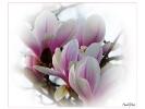 Tulpen Magnolien Baum