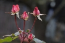 All die Rosenknospen auf der Erden, Wann sie Rosen in dir selber werden. (Christian Wagner)