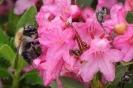 Beliebte Alpenrose im Schwabenland