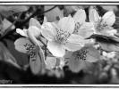 Blütenzauber in schwarz weiß