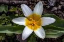 Das ist eine geöffnete wilde Tulpe
