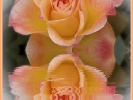 Das Spiegelbild der Rose