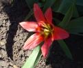 Erste Tulpe im Garten blüht