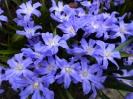Frühjahrsblüher in blau