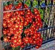 Gartenblumen Astern