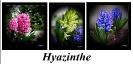 Hyazinthenpanno