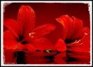 Leuchtend rote Amaryllisblüten