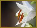 Liliendetail vom Blumenstraus