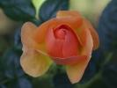Noch eine Rose aus dem eigenen Garten