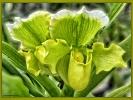 Orchidee - Frauenschuh