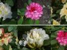 Rhododendron-Mosaik