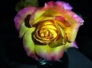 Rose - Solitär in einer Vase...