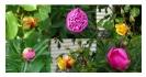 Rosen in eigenem Garten...