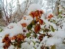 Schneebedeckte Rosen