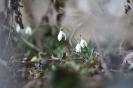 Schneeglöckchen ohne Schnee