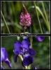 Schwertlilien wachsen natürlich auch wild aber diese  stand in  einem Garten