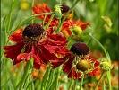 Sonnenhut auch Echinacea