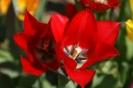Tulpen in voller Blüte