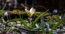 Das ist eine wilde Tulpe