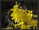 Die gelbe Pracht im Frühling