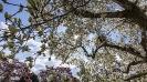 Die Magnolienblüte in der Wilhelma