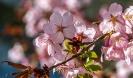 Die Mandelbäume blühen jetzt wunderschön