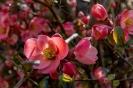 Diese Zierquitte steht unbeachtet in einem verwilderten Garten und blüht jedes Jahr wunderschön