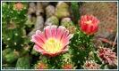 Kaktusblüten aus dem Tropenhaus