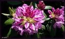 Rhododendronbusch in