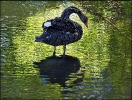 Der Trauerschwan in schönem Licht