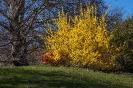 Die rote Zierquitte vor dem gelben Busch ist schon einen sehr farbige Sache