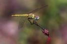 Große Gelbe Libelle (Sympetrum vulgatu) eine die wenigsten sitzen bleibt