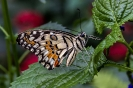 Kalkschmetterling (Papilio demoleus)