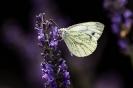 Wenn irgendwo Lavendel blüht hängen die massenweise dran