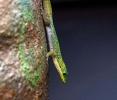 So ein Bambus Gecko ist sehr neugierig