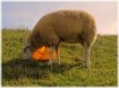 Das Eimer-Schaf...