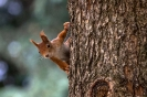 Das ist ein junger Eichhörnchenbock