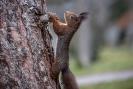 Der kleine uns sehr nervöse Eichhörnchenbock