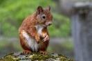 Diese trächtige Eichhörnchen-Dame