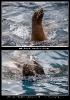 Eben eine Seelöwen Frau