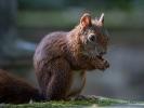 Eichhörnchen -Augen