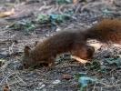 Eichhörnchen Jungtier.....