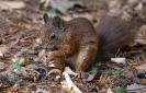 Eichhörnchen vergaben ja die Nüsse