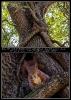 Eichhörnchenbaum